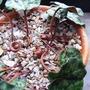 Cyclamen hederifoilium immature seedheads