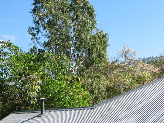 Petrea volubilis - Sandpiper Vine - in the canopy of the Peanut Tree (Petrea volubilis)
