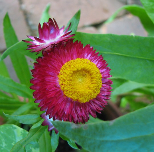 Bracteantha bracteata (Paper Daisy) also known as Helichrysum bracteatum (Bracteantha bracteata, Helichrysum bracteatum)