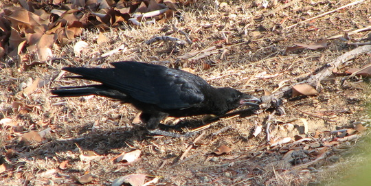 Black crow foraging for food