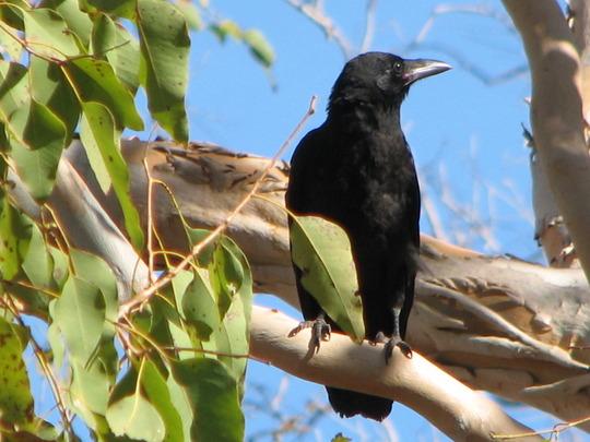 Garden visitor - Black Crow