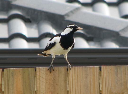 Australian Magpie - Gymnorhina tibicen