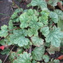Heuchera micanthra &quot;Harvest Silver&quot;