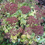 Sedum gone to bronze.....
