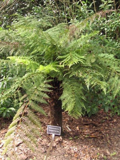 Tasmaninan Tree Fern