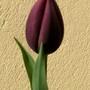 10_4_6.jpg (Tulipa)