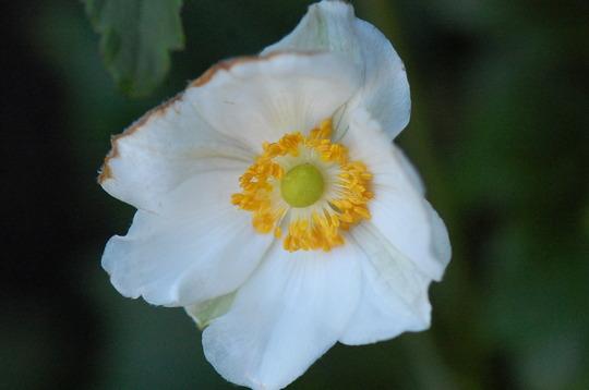 Anemone 'Honorine Jobert' (Anemone)