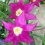 14_4_1.jpg (Tulipa)