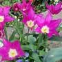 14_4_2.jpg (Tulipa)