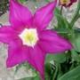 14_4_3.jpg (Tulipa)