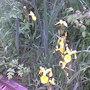 Iris pseudocorus (Yellow Flag), Askham Bog '08