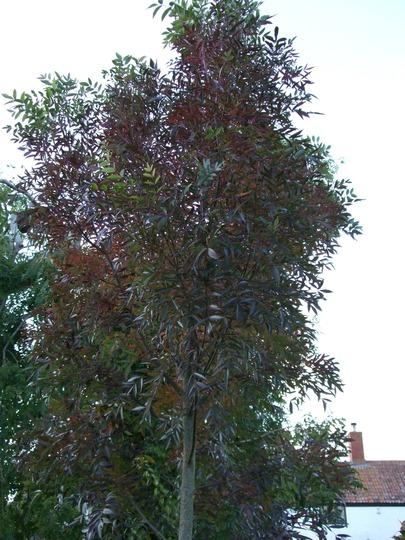 Fraxinus augustifolia 'Raywood' (Fraxinus augustifolia)