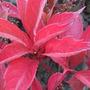 Parthenocissus_thomsonii