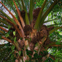 Elaeis guineensis (Elaeis guineensis (African Oil Palm))