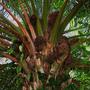 Elaeis guineensis (Elaeis guineensis (African Oil Palm))