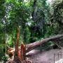 White Cedar rainforest tree (Melia azedarach var.australasica)