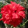 Hibiscus sp  (Hibiscus sp. double red.)