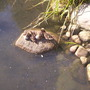 Ducklings at London Wetland Centre-Aug.'08