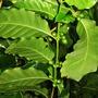 Coffee Berries (Coffea arabica (Cafe))