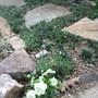 Stone Path with Minature Mondo Grass, Black Mondo Grass, and Johnny Jumpups