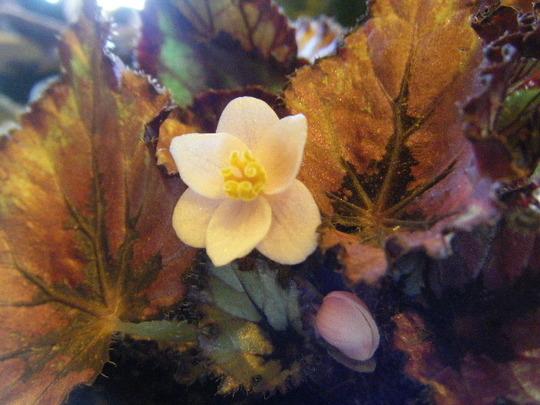 Little Rex Blooms