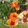 Poppies (papaver)