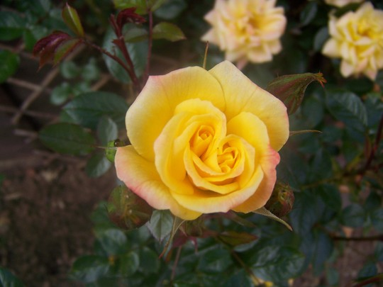 Yellow Rose (Rosa Laura Ford)
