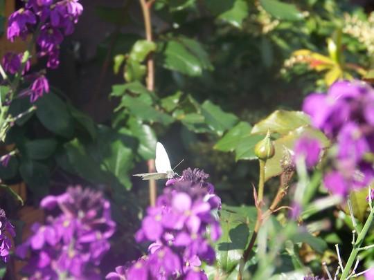 Butterfly (Erysimum Bowles mauve)
