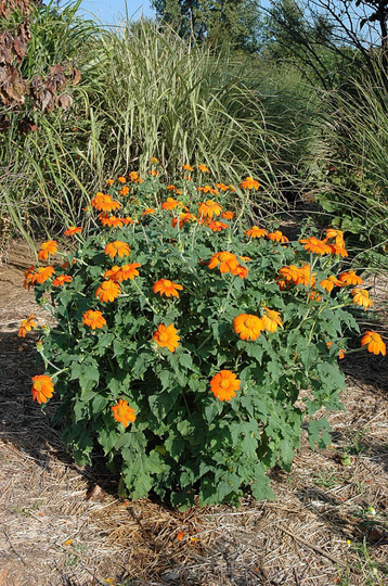 Tithonia 'Torch' - Plant photo (Tithonia rotundifolia (Mexican sunflower))