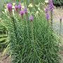 Liatris (Liatris spicata (Gayfeather))