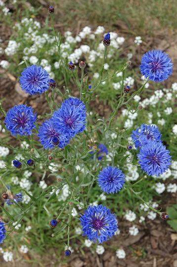 Bachelor Button 'Blue Boy' (Centaurea cyanus (Cornflower))