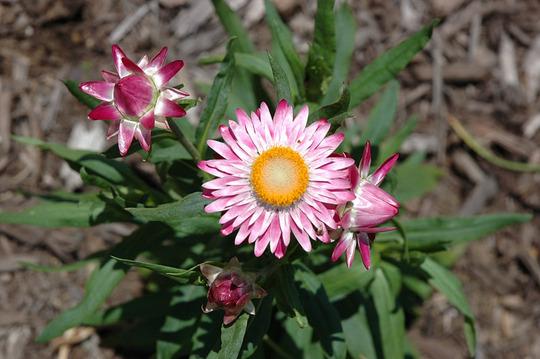 Helichrysum Tall Double Mix (Helichrysum bracteatum (Everlasting Aureum Superbum))