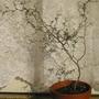 Sophora prostrata Little Baby (Sophora prostrata Little Baby)
