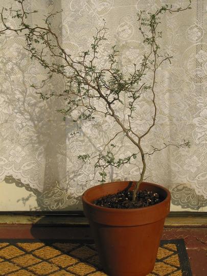 "Sophora prostrata Little Baby (Sophora prostrata ""Little Baby"")"