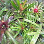 Bromeliads_fall