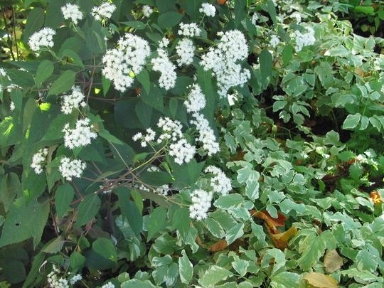 Bishop's weed or Aegopodium podagraria Variegatum