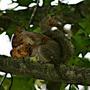 Squirrel, Eastern Gray  (Sciurus carolinensis)