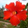 Hibiscus rosa-sinensis 'San Diego Red' (Hibiscus rosa-sinensis 'San Diego Red')