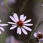 Aster Turbinellus (Aster turbinellus)