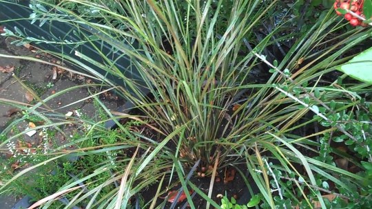 A garden flower photo (Stipa arundinacea (Pheasant's tail grass))