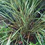 A garden flower photo (Stipa arundinacea (Pheasant's tail grass))