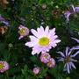 Chrysanthamum_24.10.9