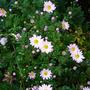 chrysanthemum after the rain (Chrysanthemum rubellum 'Clara Curtis')