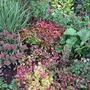 Leucothoe in the flower bed. (Leucothoe fontanesiana (Leucothoe))