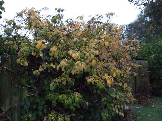 Hydrangea petiolaris autumn colour. (Hydrangea petiolaris (Climbing Hydrangea))