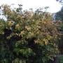 Hydrangea_petiolaris_autumn_colour