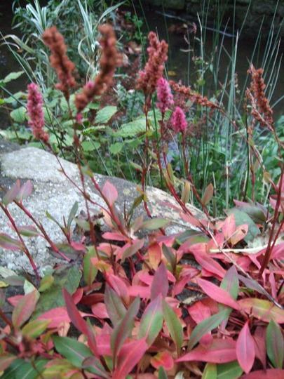 Persicaria affinis 'Superba' (Persicaria affinis)
