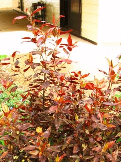 Acalypha wilkesiana inferno  (Acalypha wilkesiana inferno)