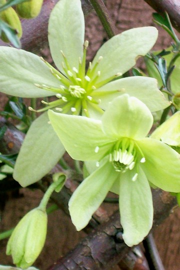 Clematis 'Pixie' close up (Clematis 'pixie')
