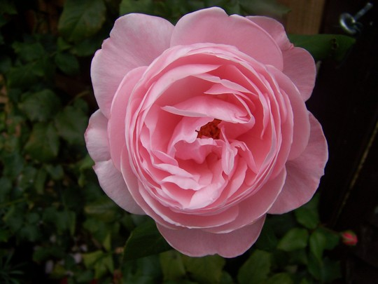 Pink rose (rosa Aloha)